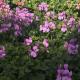 Geraniums Amethyst Improved