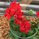 Geranium lierre double kate