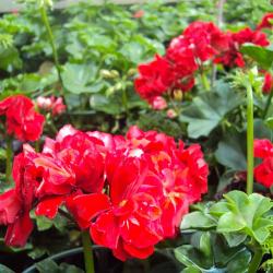 Geranium Lierre Double Calliope Dark Red