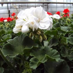Geranium Zonal Classic White