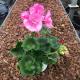 Geranium Droit Candy Rose