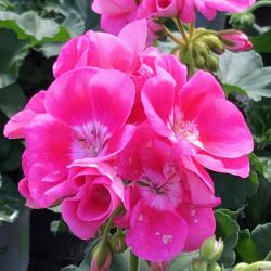 Geranium Droit Pinnacle Celine rose