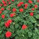 Geranium Zonal Anthony rouge