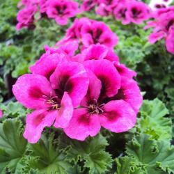 Pelargonium Candy Flower Violet