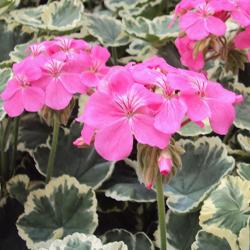 Geranium Zonal panaché Mme Salleron rose