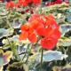 Geranium Panaché Mrs Pollock rouge