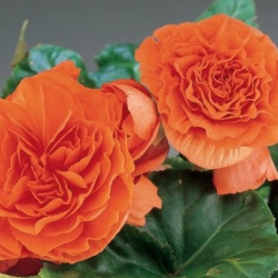 Begonia Tubereux Swing Orange