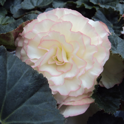 Begonia Tubereux Cameleon Cream Rose