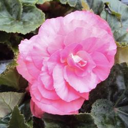 Begonia Tubereux Swing Pink Shades