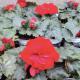 Begonia Tubereux Nonstop rouge
