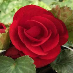 Begonia Tubereux Swing Scarlet