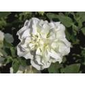 Petunia Sweetsunshine-Double White