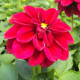 Dahlia Dahlietta Select Patty