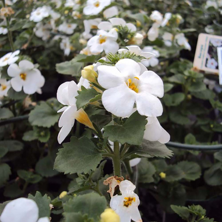 Bacopa Gulliver Dynamic White