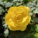 Begonia Tubereux Swing Yellow