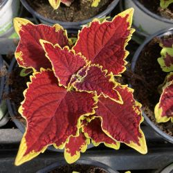 Coleus Stained Glassworks Crown Jewel