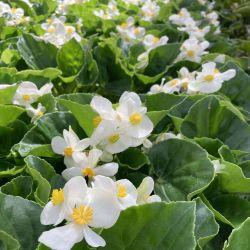 Begonia Big White