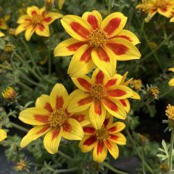 Bidens Taka Tuka M Yellow Red Star
