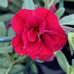 Calibrachoa Neo Double Dark Red