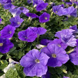 Petunia Surfinia Sky Blue