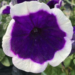 Petunia Surfinia Famous Dark Violet