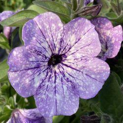 Petunia Surfinia Lavender Sky