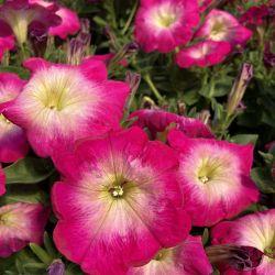 Petunia Surfinia Cascadia Fantasy Hot Pink