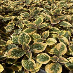 Plectranthus Ciliatus Easy Gold