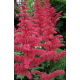 Astilbe Alive And Kicking