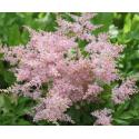 Astilbe Hybrida Younique Pink