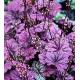 Heuchère Hybrida Gerogia Plum