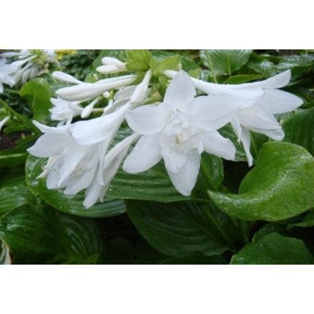 Hosta Plantaginea Aphrodite