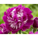 Pivoine Paeonia Lactiflora Celebrity