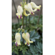 Dicentre Dicentra Love Hearts