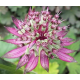 Astrantie Major Midnight Owl