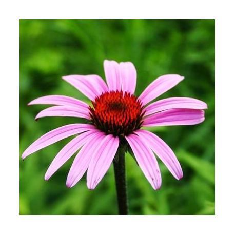 Echinacée Echinacea Purpurea Papallo Classic Rose