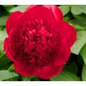 Pivoine Paeonia Lactiflora Red Charm
