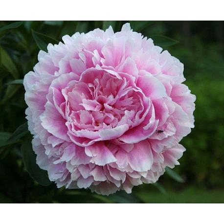 Pivoine Paeonia Lactiflora Sarah Bernhardt