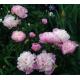 Pivoine Paeonia Lactiflora Sorbet