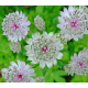 Astrantie Astrantia Major Star Of Billion