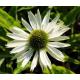 Echinacée Echinacea Virgin