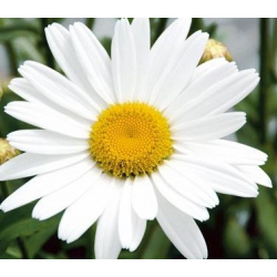 Marguerite Leucanthenum White Mountain