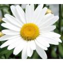 Marguerite Leucanthenum White Mountain