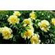 Pivoine Paeonia Itoh Yellow Crown