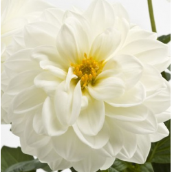 Dahlia Dahlietta Select Blanca