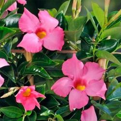 Dipladenia Sundaville Classic Rose