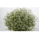 Euphorbia Hypericifolia Diwali Shower