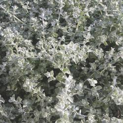 Helichrysum Lanatum Silver Leaf
