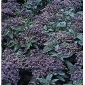 Heliotrope Arborescens Marine