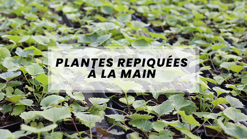 plantes repiquees a la main